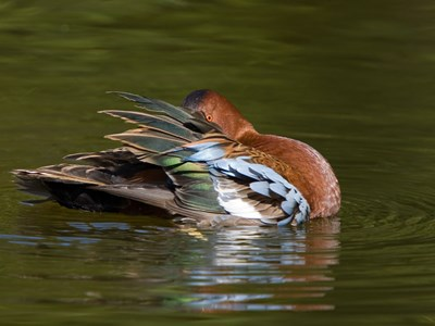 Cinnamon Teal (Anas Cyanoptera) beautiful drake into the water