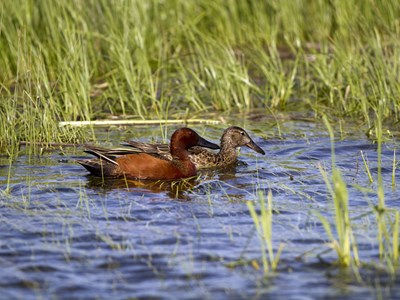 Cinnamon Teal (Anas Cyanoptera) wonderful pair into the pond