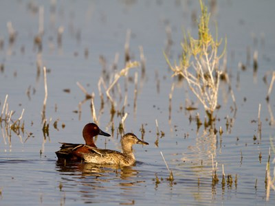 Cinnamon Teal (Anas Cyanoptera) beautiful breeding pair within Allevamento Poggio di Ponte