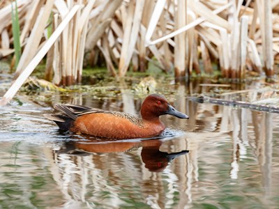 Cinnamon Teal (Anas Cyanoptera) drake into the water