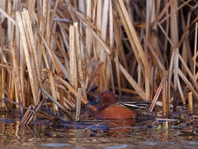 Adult male of Cinnamon teal (Anas Cyanoptera) near the reeds