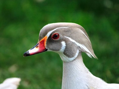 Adult male of Carolina Duck (Aix sponsa) in silver color mutation, in the foreground