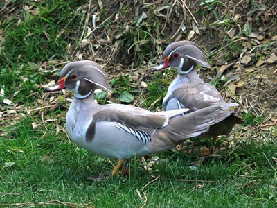 Adults of  Carolina Duck (Aix sponsa)in silver color mutation