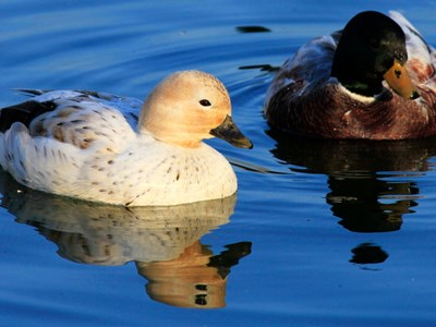 Call Duck adult pair into the icy winter waters