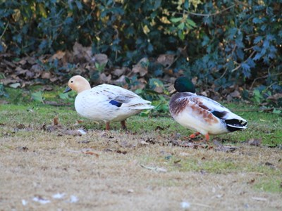 Call Duck breeding pair in the winter meadow