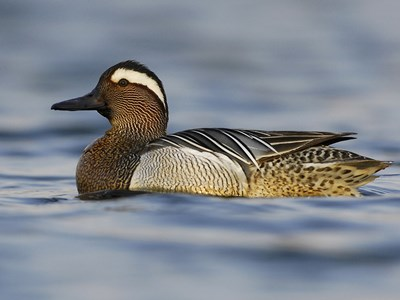 Breeding male of Garganey (Anas Querquedula) in water