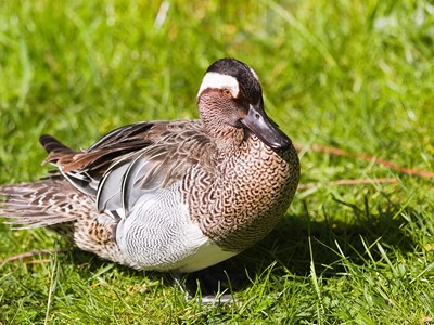Male of Garganey (Anas Querquedula) in a spring meadow