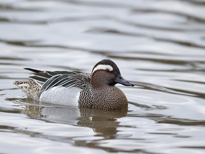Adult male of Garganey (Anas Querquedula) in the icy winter water