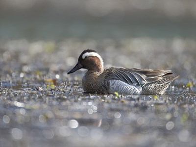 Adult male of Garganey (Anas Querquedula) in the lagoon