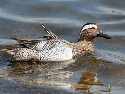 Adult male of Garganey (Anas Querquedula)in water