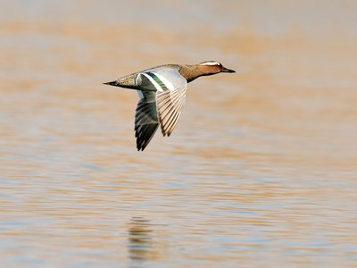 Specimen of Garganey  (Anas Querquedula) in flight