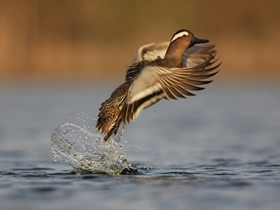 Male of Garganey  (Anas Querquedula) in flight