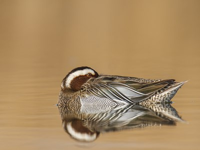 Breeding male of Garganey (Anas Querquedula) during the afternoon rest in water