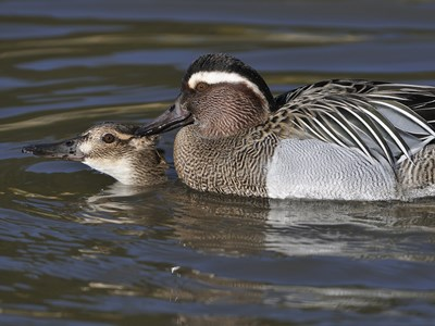 Beautiful breeding pair of Garganey  (Anas Querquedula) during mating in water