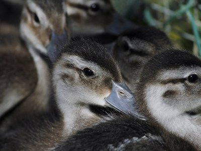 Ducklings of Northen Pintail ( Anas Acute ) in the foreground