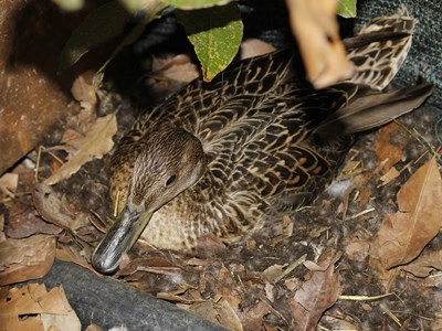 Female of Northen Pintail ( Anas Acute ) hatching  at Allevamento Poggio di Ponte