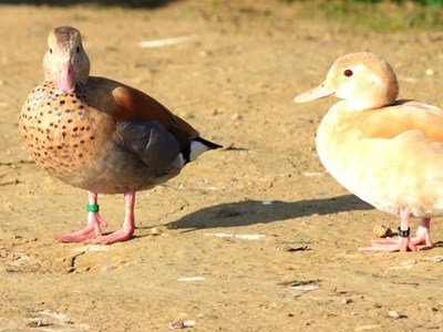 Breeding pair of Ringed Teal  (Callonetta Leucophrys) in yellow color mutation