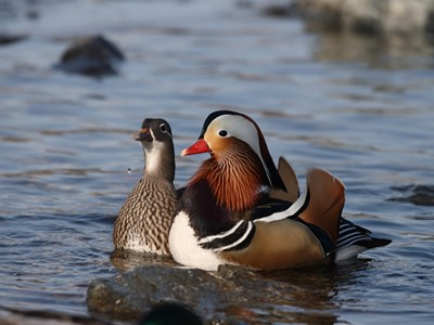 Mandarin Duck (Aix Galericulata) adult pair into the cold winter waters
