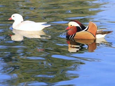 Mandarin Duck (Aix Galericulata) adult pair into the water