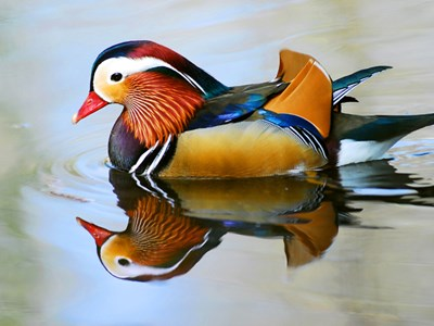 Mandarin Duck(Aix Galericulata) adult drake into the icy winter waters