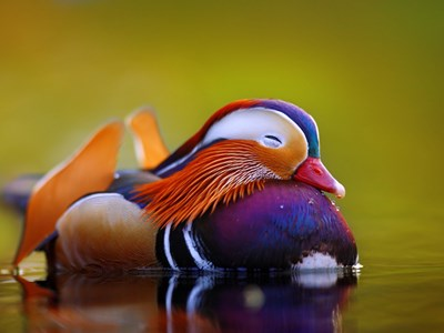 Portrait of Mandarin Duck (Aix Galericulata) adult breeding drake into the water
