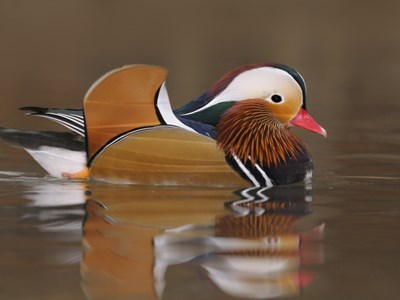 Mandarin Duck (Aix Galericulata) drake in the lagoon in winter