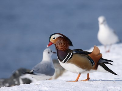 Mandarin Duck (Aix Galericulata) breeding drake on the snow