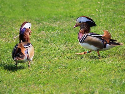 Mandarin Duck (Aix Galericulata) adult drakes in the spring meadow