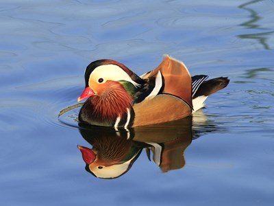 Mandarin Duck (Aix Galericulata) adult drake into the pond