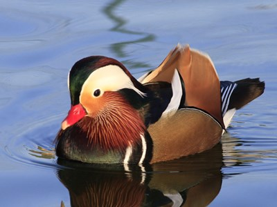 Mandarin Duck (Aix Galericulata) drake into the icy winter waters