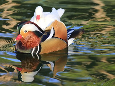 Mandarin Duck (Aix Galericulata) breeding pair into the pond