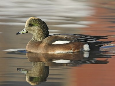 American Wigeon (Anas Americana) 10 months old young into the water