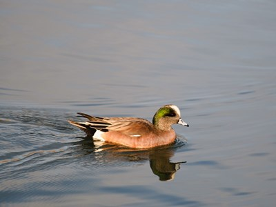 American Wigeon (Anas Americana) adult drake into the water