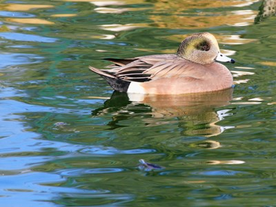 American Wigeon (Anas Americana) adult drake in the lake