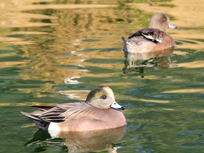 American Wigeon (Anas Americana) breeding pair in the lagoon