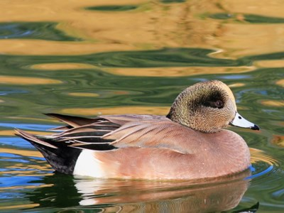 American Wigeon (Anas Americana) breeding drake into the water