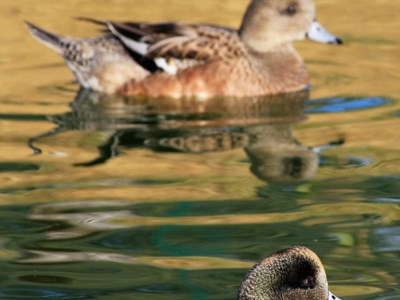 American Wigeon (Anas Americana) adult pair into the water