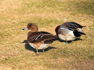 Portrait of Eurasian Wigeon (Anas Penelope) pair in winter meadow