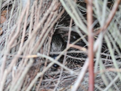 Eurasian Wigeon (Anas Penelope) adult hatching female inside a dense hedge