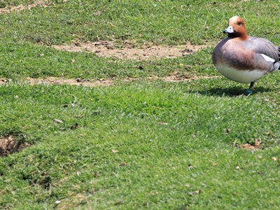 Eurasian Wigeon (Anas Penelope) adult drake in the meadow in spring