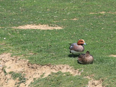 Eurasian Wigeon (Anas Penelope) breeding pair in the spring meadow