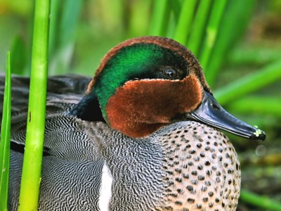 Portrait of Green Winged Teal (Anas Crecca Crecca) adult drake