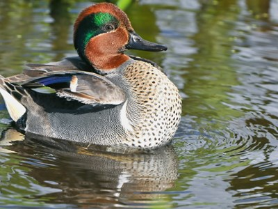Green Winged Teal (Anas Crecca Crecca) adult drake during courtship