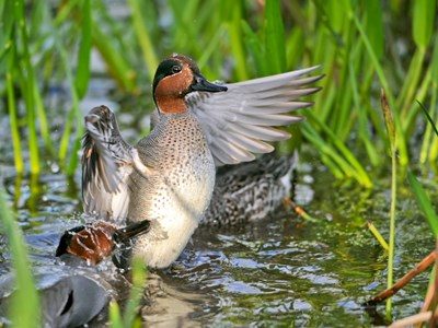 Green Winged Teal (Anas Crecca Crecca) adult drakes through dense pond vegetation