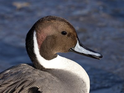 Portrait of Northern Pintail (Anas Acuta) adult drake into the cold winter waters