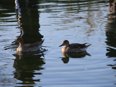 Northern Pintail (Anas Acuta) adult female into the pond