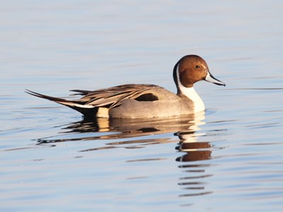 Northern Pintail (Anas Acuta) drake into thw water