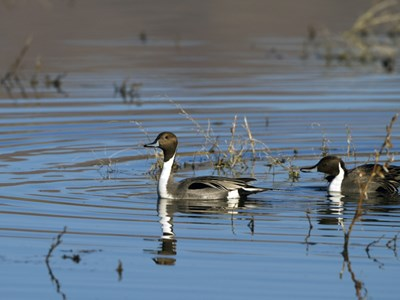 Northern Pintails (Anas Acuta) into the cold winter waters