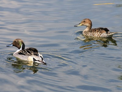 Northern Pintail (Anas Acuta) adult pair into the pond