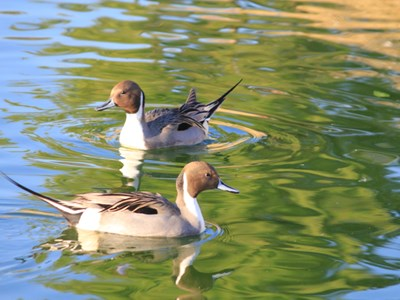 Northern Pintail (Anas Acuta) adult drakes into the water within Allevamento Poggio di Ponte